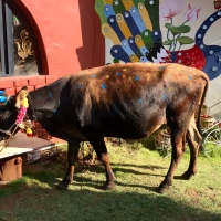 Lakshmi the Pongal cow